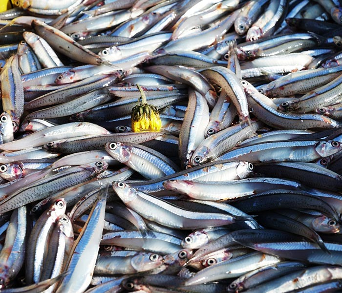 Chuẩn bị cá cơm tươi sống để làm cá cơm khô