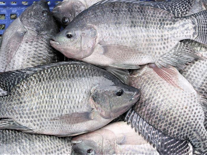 Cá rô phi giàu giá trị dinh dưỡng