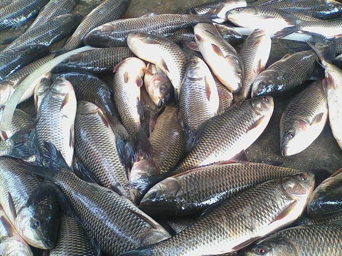 Cá trôi - nguyên liệu không thể thiếu cho món chả cá